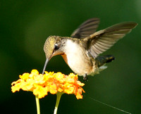 Hummingbird on Gold Lantana