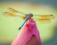Dragonfly on Lotus