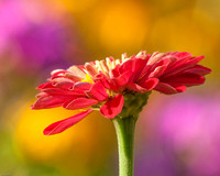 Red Zinnia in the Garden