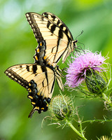 Two Swallowtails on Thistle