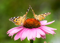 Painted Ladies on Echinacea
