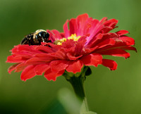 Bumble Bee and Red Zinnia