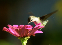 Hummingbird on Pink Zinnia Close up