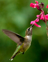 Hummingbird on Pink Salvia 2 2011
