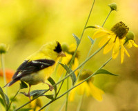 Goldfinch in Rudebeckia