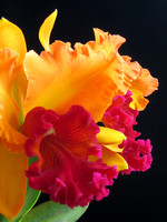 Yellow and Red Cattleya