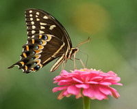Palamedes Swallowtail on Pink Zinnia
