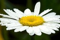 Daisy with Dew 1