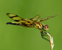 Dragonfly with Banded Wings Close Up