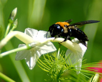 Bumble Bee on White Cypress Vine
