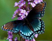 Red Spotted Purple Butterfly on Butterfly Bush
