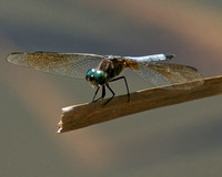 Blue Eyed Dragonfly on Cattail Head On