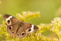 Buckeye Butterfly on Goldenrod