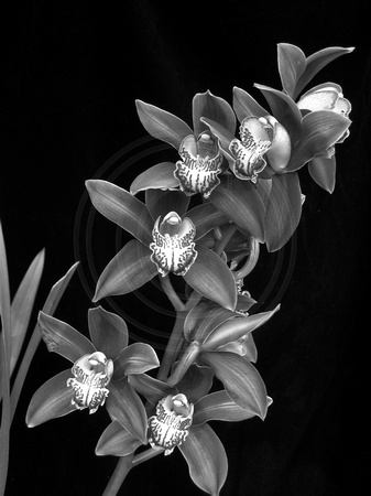 Black and White Cymbidium
