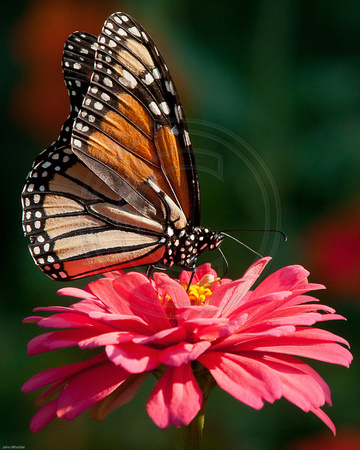 Monarch on Pink Zinnia 2011