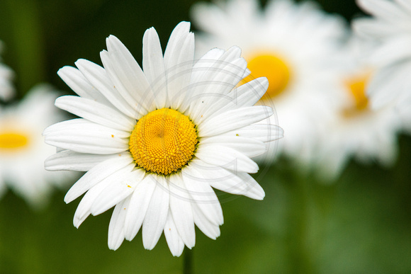 Daisy Standout