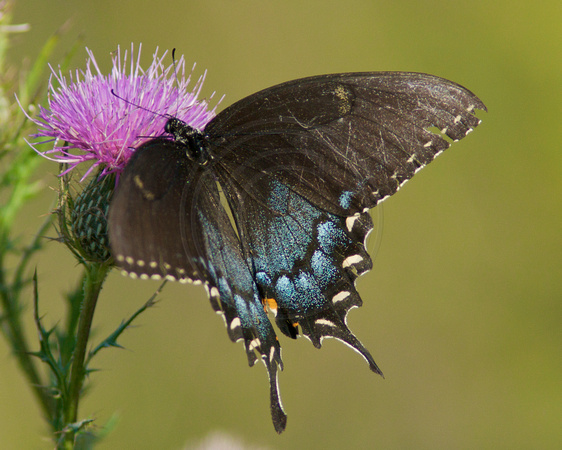 Spicebush Swallowtail on Thistle