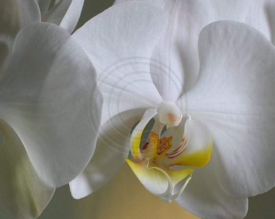 White Phal Close Up