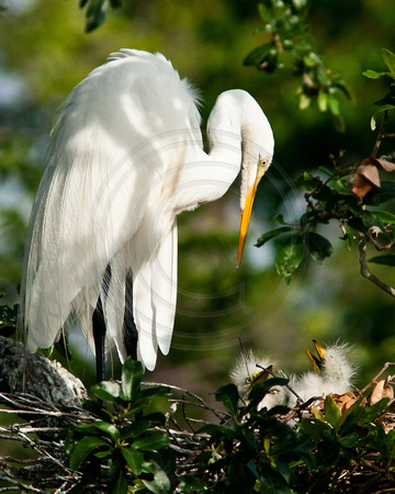Great Egret and Chicks Eye to Eye