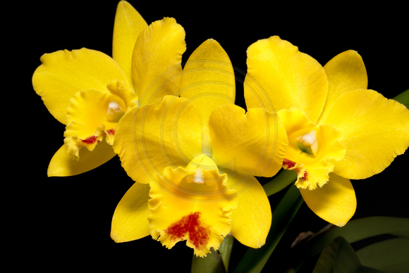 Yellow and Red Mini Cattleya