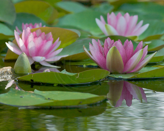 Water Lilies In the Japanese Garden