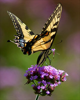 Tiger Swallowtail Picking Flower