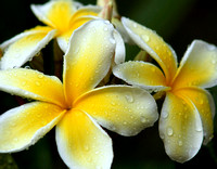 Yellow Plumeria After Rain