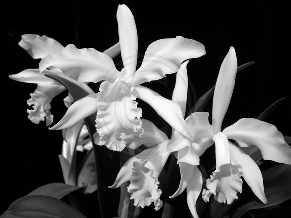 White Cattleya Orchids White Cattleya in Black And