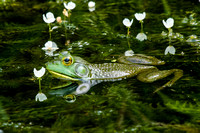 Bullfrog Reflections 3 2014