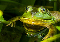 Bullfrog Reflection 4  2014